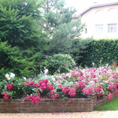 Ландшафтный дизайн, почвопокровные розы