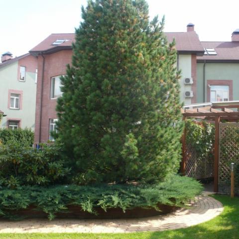 Сосна кедровая, Pinus cembra