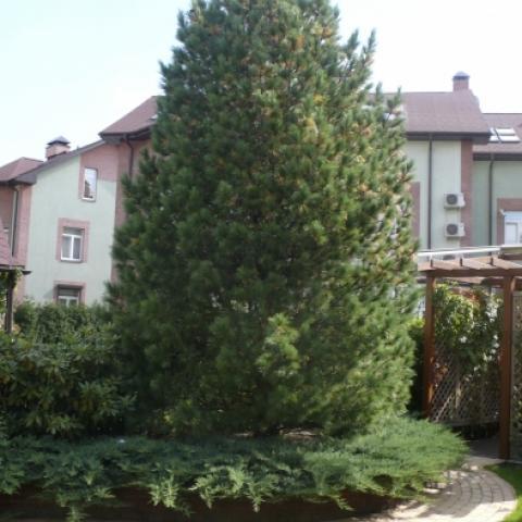 Сосна кедровая - Pinus cembra