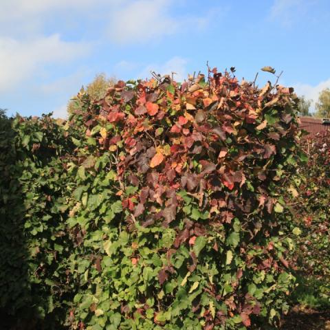 Боярышник ярко-красный - элемент живой изгороди