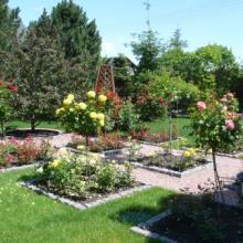 Розарий в июньском саду