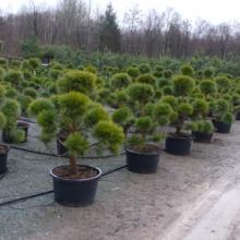 Саженцы с закрытой корневой системой в Питомнике растений Садовый Лабиринт
