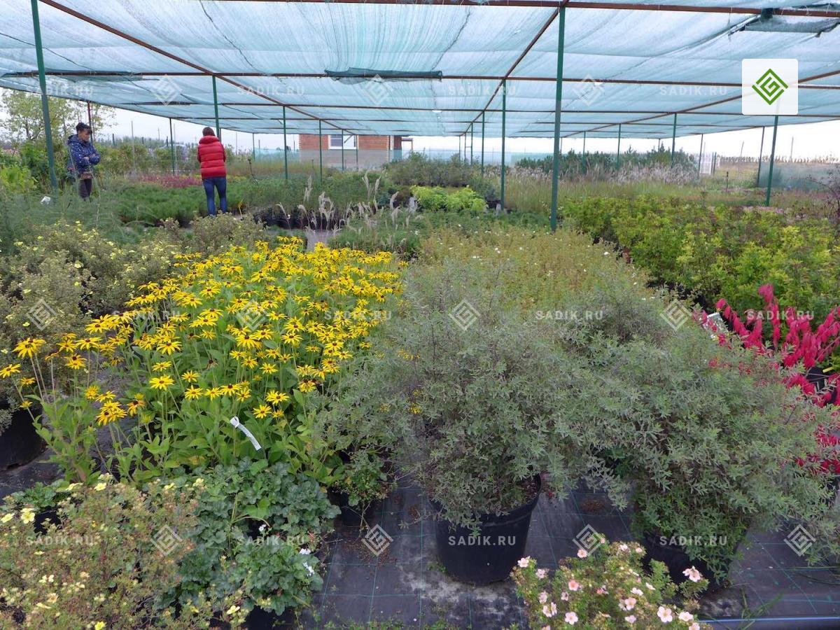 Кустарники в Питомнике растений Садовый Лабиринт