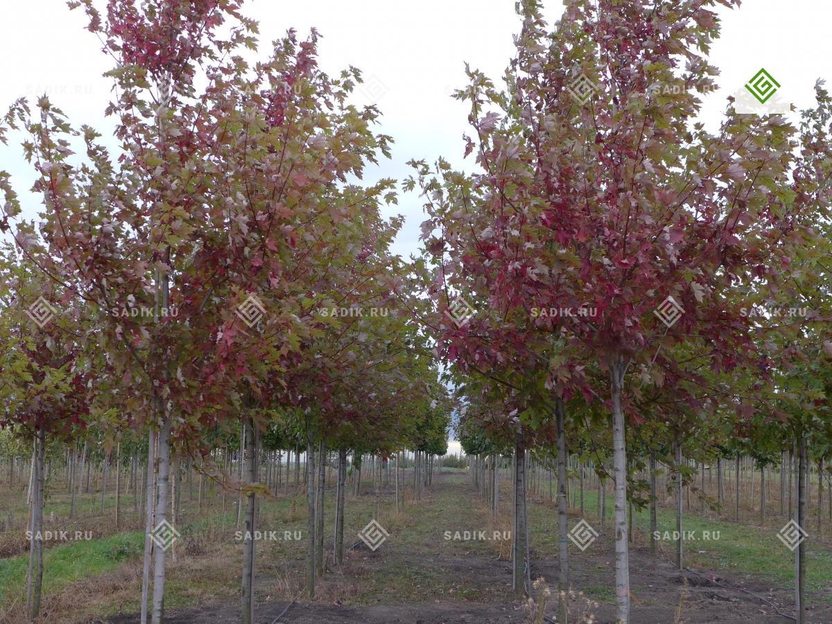 Посадка крупномеров в Питомнике растений Садовый Лабиринт