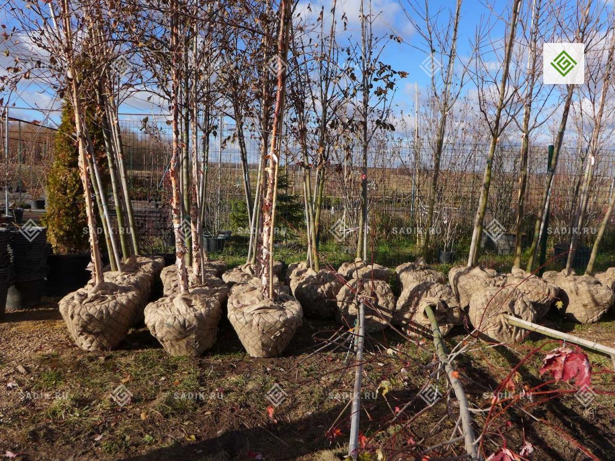 Саженцы деревьев крупномеров в Питомнике растений Садовый Лабиринт Тула М4