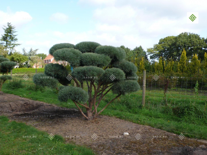 39 39 pinus sylvestris 39 watereri 39 bonsai. Black Bedroom Furniture Sets. Home Design Ideas