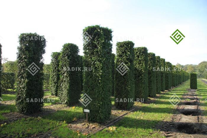 Формованные деревья для городского озеленения