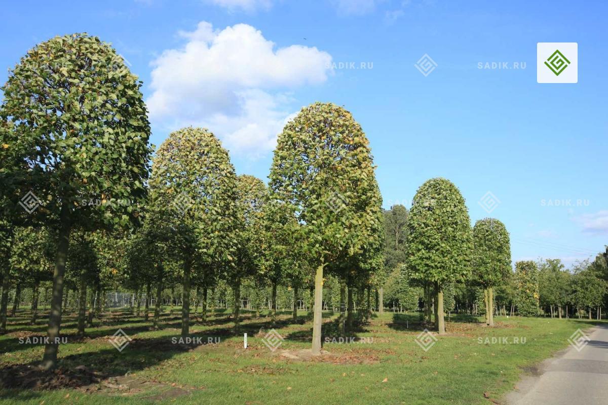 Формованные немецкие деревья крупномеры в питомнике
