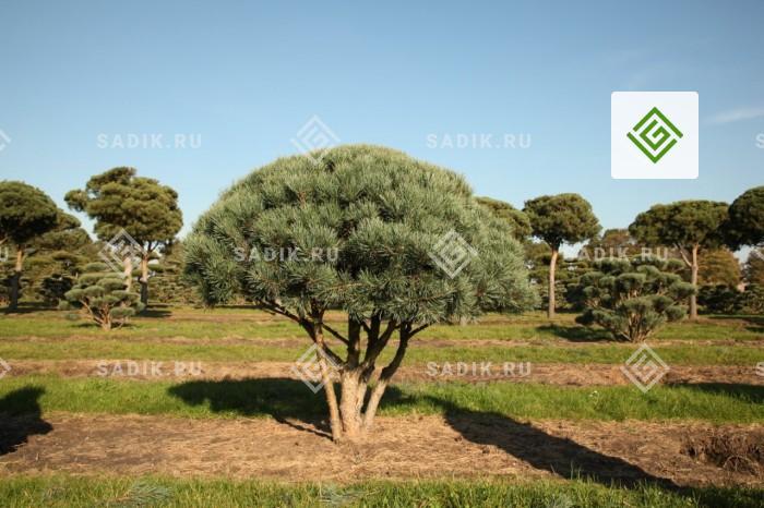 Посадка садовых деревьев с гарантией приживаемости