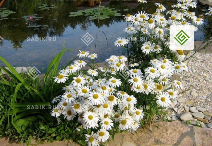 Прибрежные и водные растения в сельском стиле сада