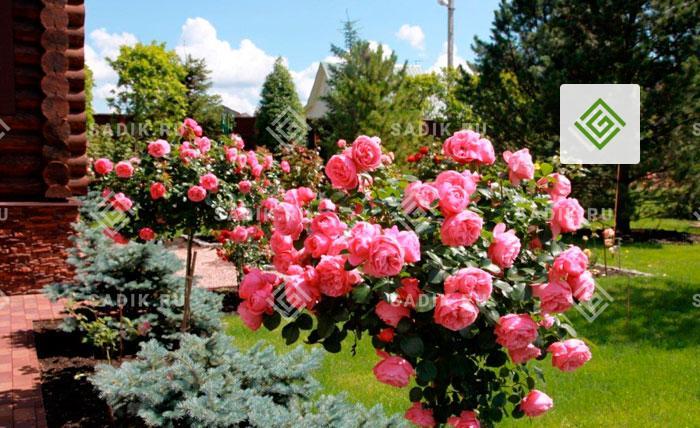 Цветущий розарий летом в саду