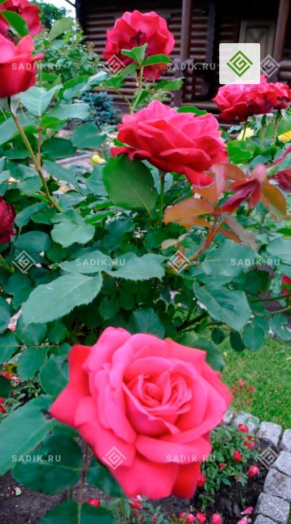 Розарий в саду у экодома. Розовый куст