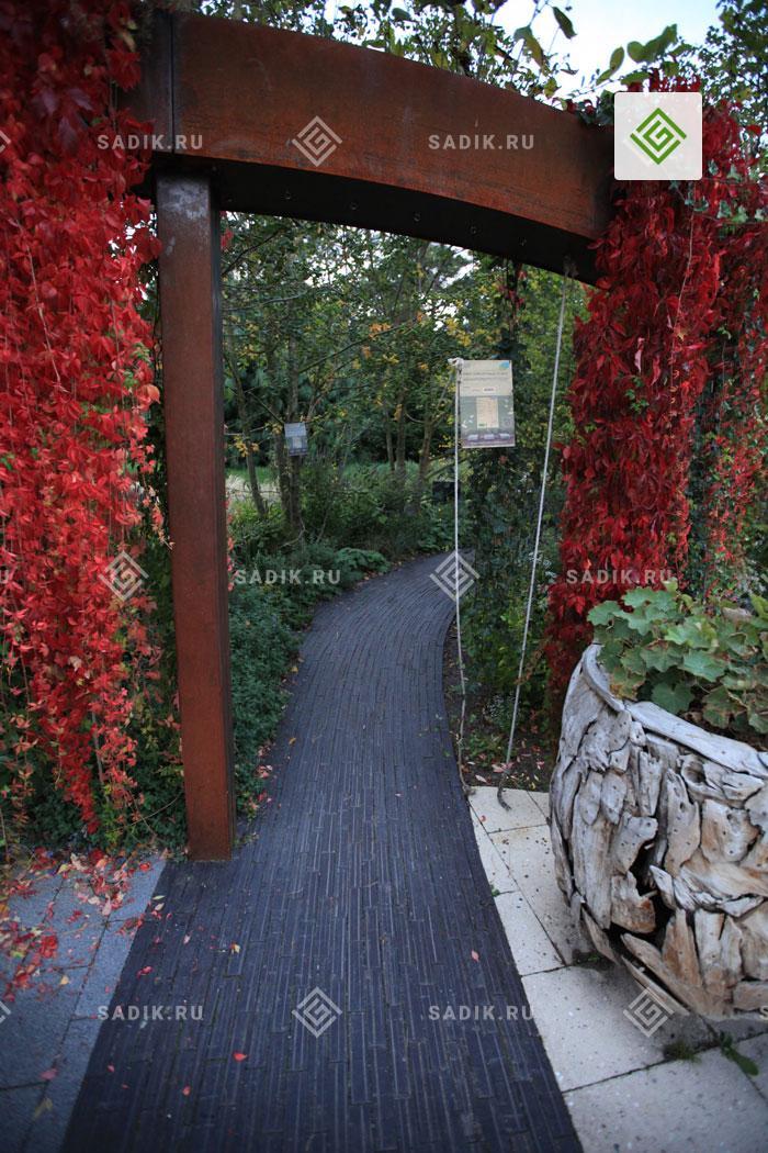 Красная стена из винограда на перголе