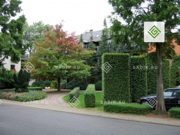 Формованная декоративная живая изгородь у загородного дома