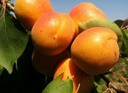 Абрикос 'Полесский крупноплодный'