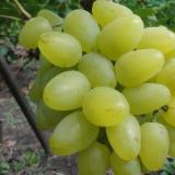 Виноград плодовый 'Бажена'
