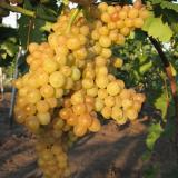 Виноград плодовый 'Лотос'