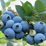 Голубика садовая 'Бригитта Блю'
