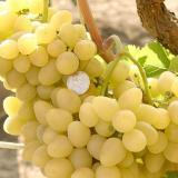 Виноград плодовый 'Аркадия'