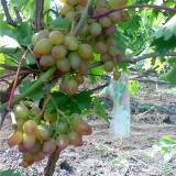 Виноград плодовый 'Багровый'