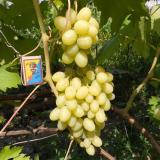 Виноград плодовый 'Ландыш'