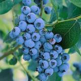 Голубика садовая 'Элизабет'