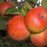 Плоды Яблони 'Солнышко'