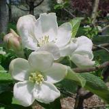 Цветы Яблони 'Хоней Крисп'