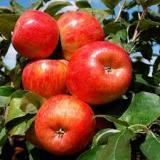Плоды Яблони 'Хоней Крисп'
