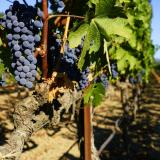 Виноград плодовый 'Кодрянка'