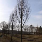 Acer rubrum Scanlon аллея