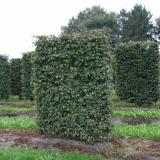 Клен полевой - элемент живой изгороди