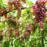 Виноград плодовый 'Голд кишмиш'