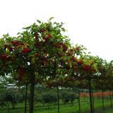 Яблоня гибридная Ред Сентинель - форма зонт