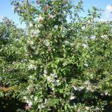 Яблоня гибридная Ред Сентинель - элемент живой изгороди