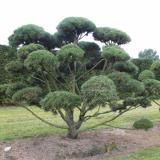 Сосна обыкновенная бонсай - немецкий питомник