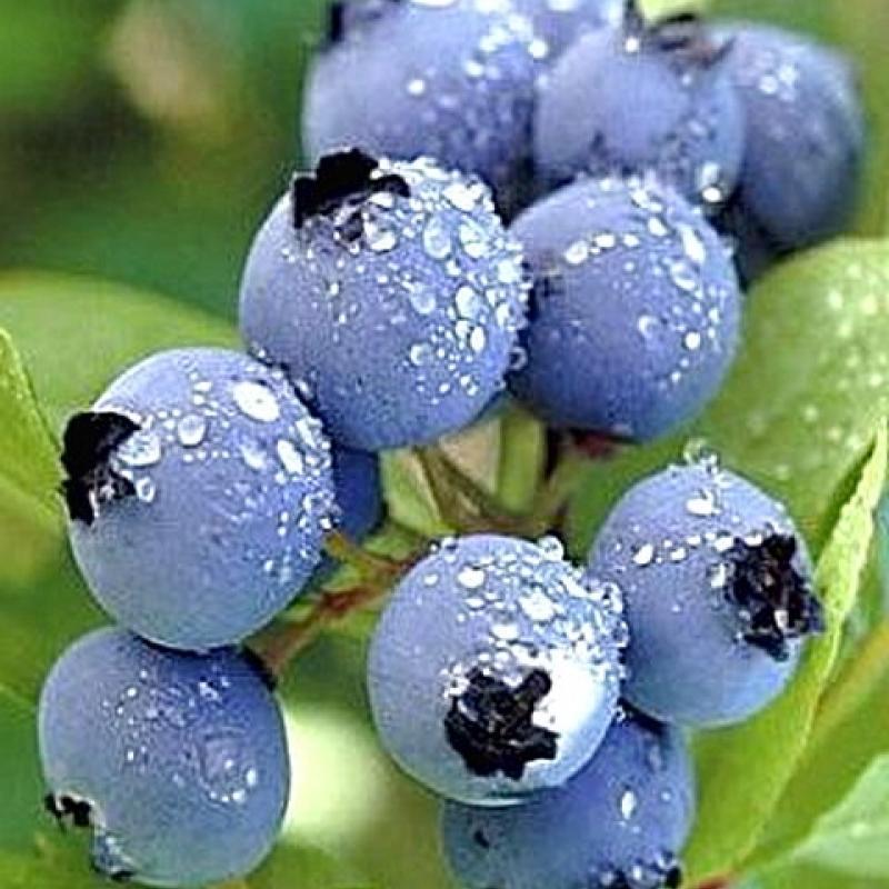 Голубика садовая 'Блюджей'