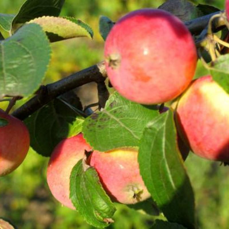 Яблоня 'Солнышко'
