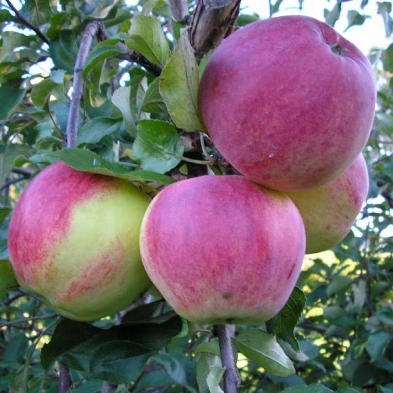 Плоды Яблони 'Уэлси'