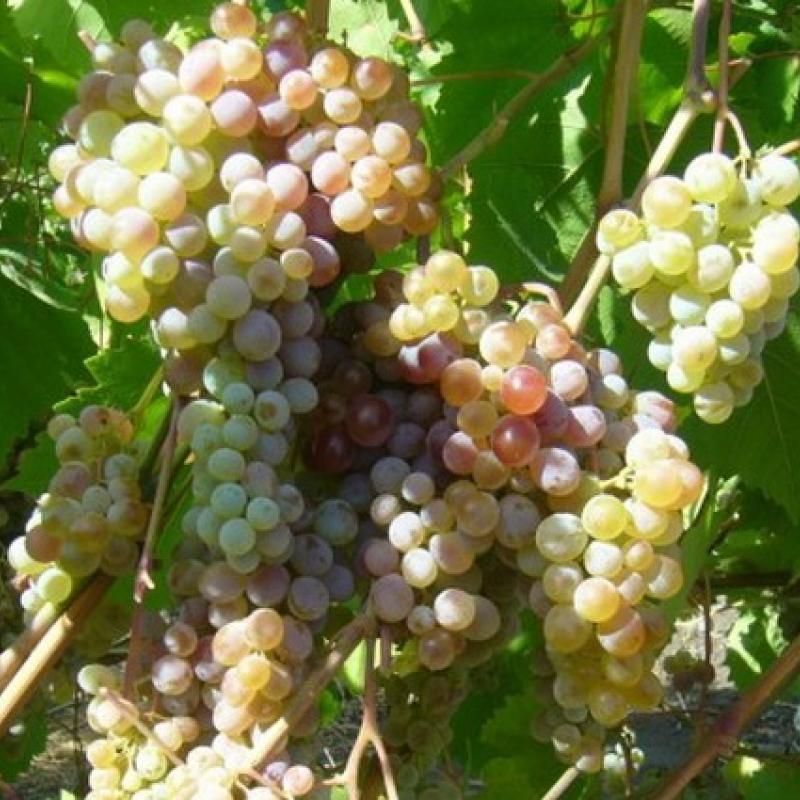 Виноград плодовый 'Геракл'