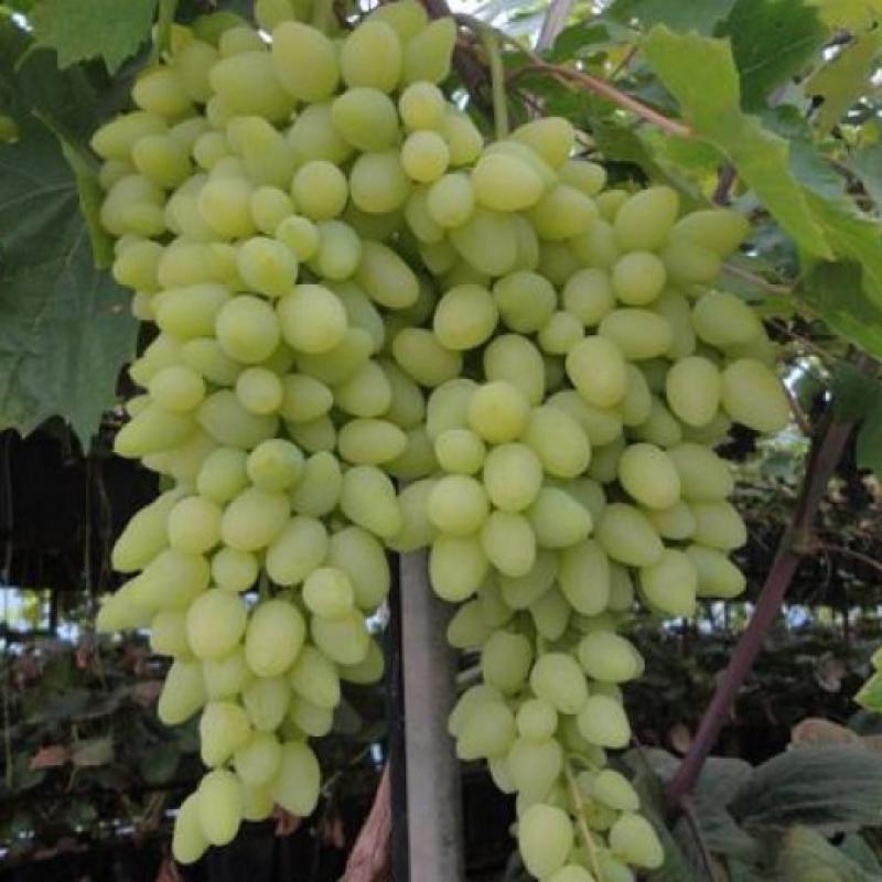 Виноград плодовый 'Долгожданный'
