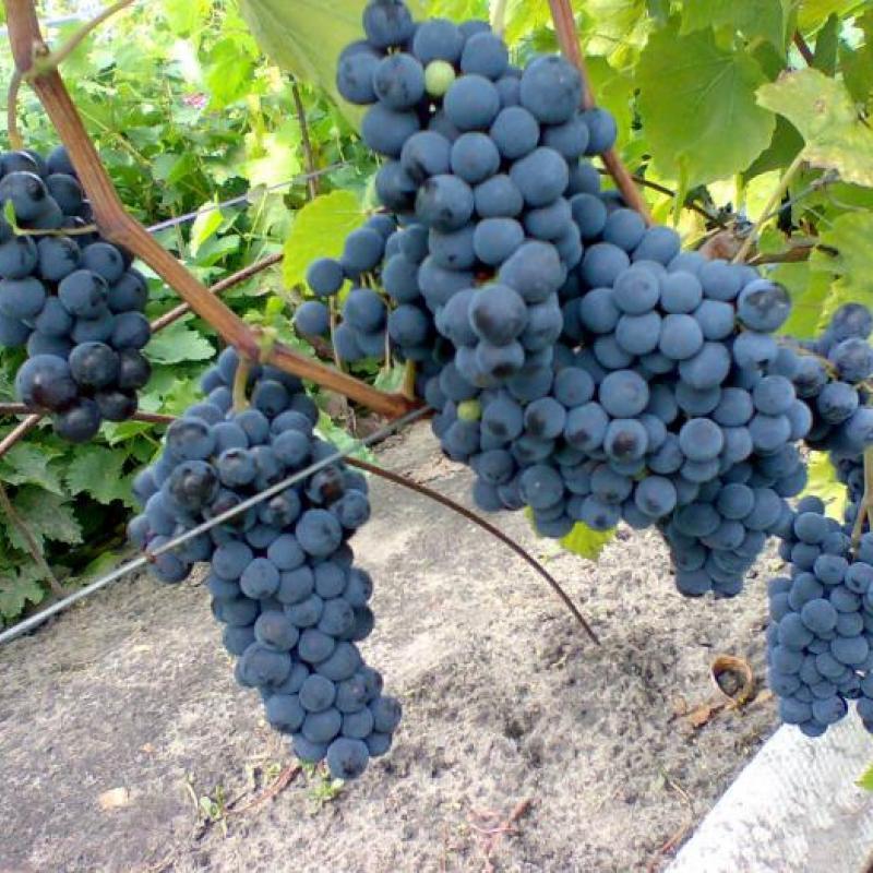 Виноград плодовый 'Левокумский'