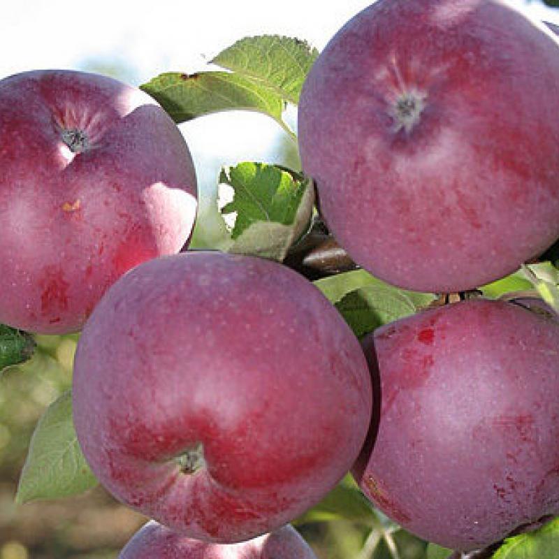 Плоды Яблони 'Спартан'