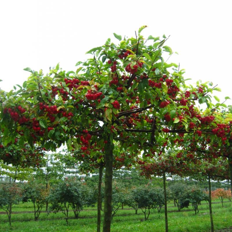 Яблоня гибридная Ред Сентинель - зонт