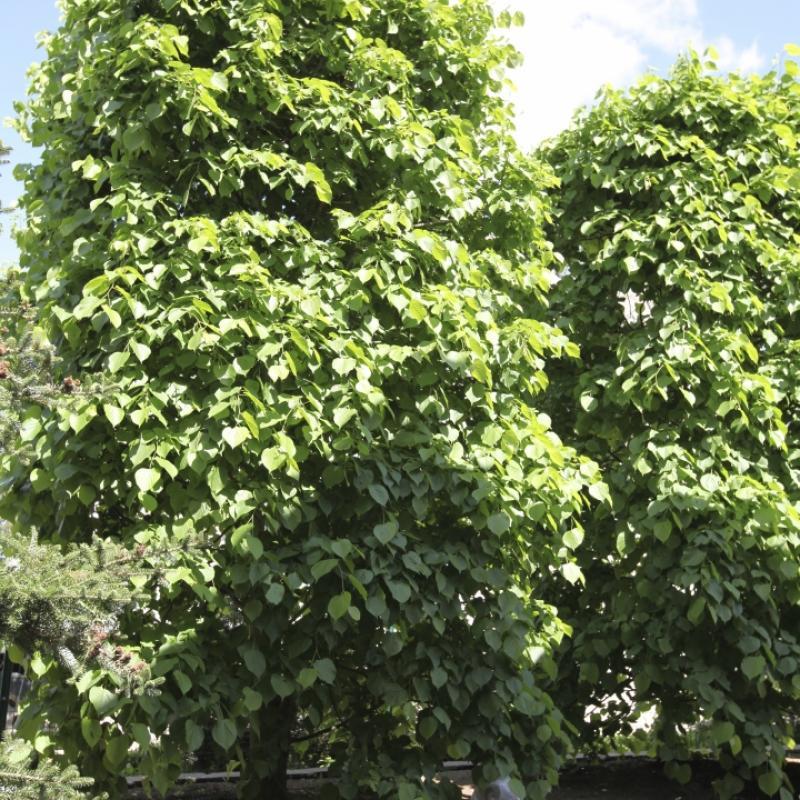 Липа летняя крупнолистная. Форма Живые изгороди