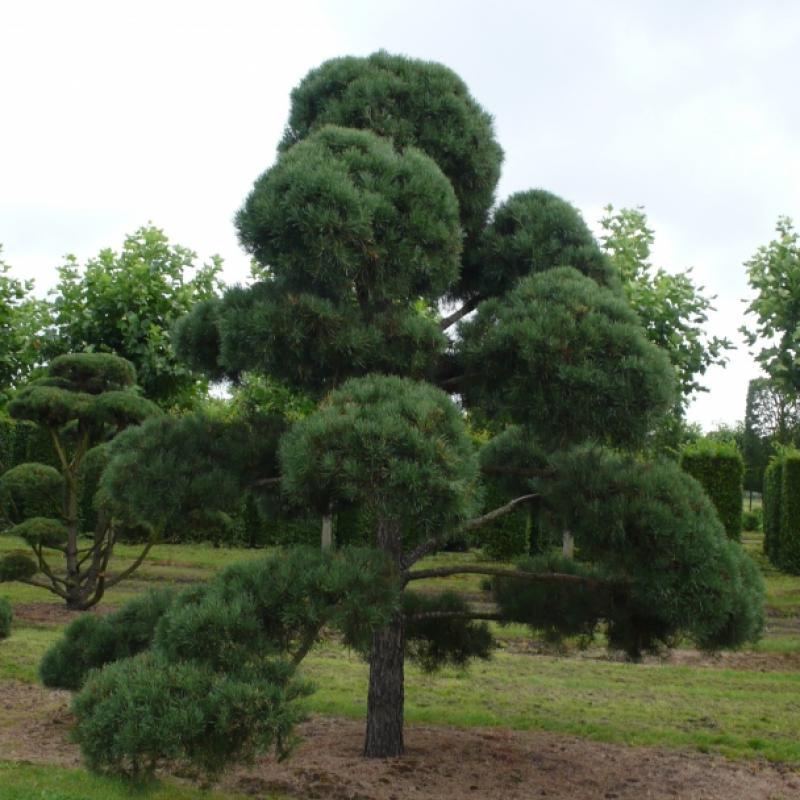 Сосна обыкновенная бонсай - питомник в  Германии