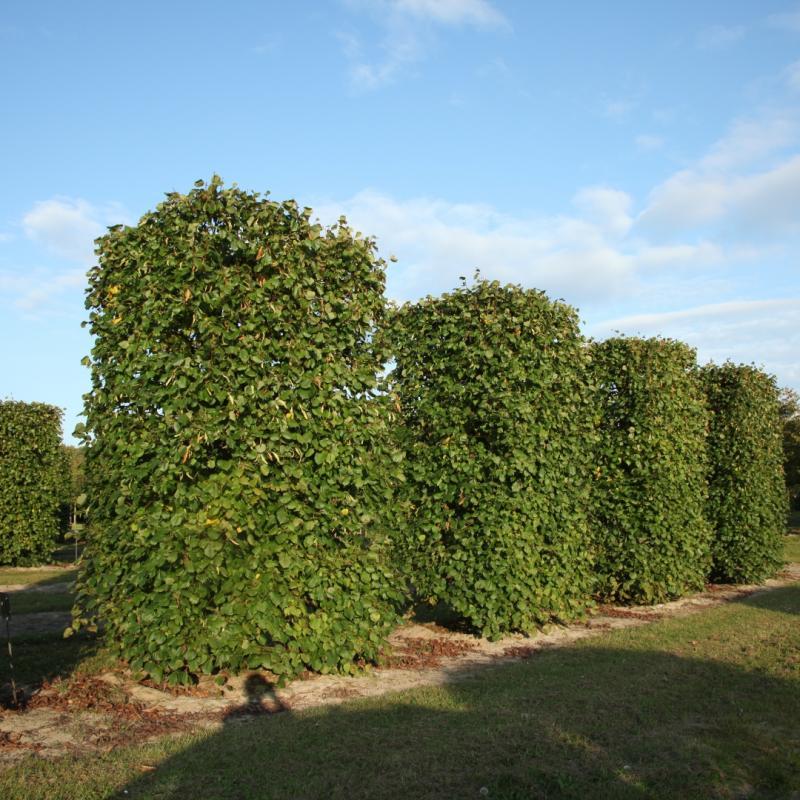 Липа летняя крупнолистная. Форма Живые изгороди - колонны